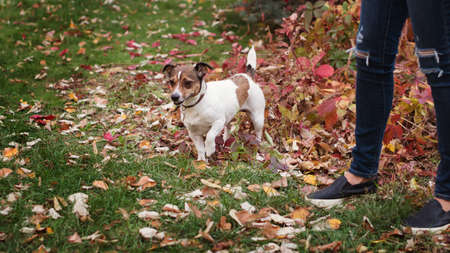 Dog days of autumn. Purebred Jack Russel Terrier dog outdoors in the nature on grass on a autumn day. Playful mood. Funny expressive leisure time