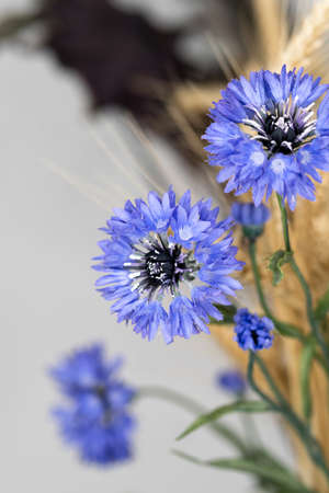 Minimalist composition of dried flowers in vase as home decoration. Blue cornflower on a background of ripe wheat ears. Educational still life for drawing.