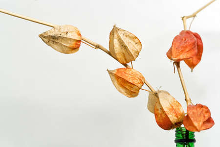 Dry alkekengi lanterns. Bried flowers physalis gooseberry. Home decoration. Hand picked delicate branch. Boho Bouquet. Educational still life for drawing
