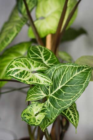Decorations Real Syngonium Leaves Composition Tropical Botanical. Concept Nature Ideas. Home gardening houseplant. Abstract green dark texture. Minimal style interior.