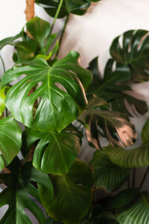 Decorations Real Monstera Leaves Composition Tropical Botanical Concept Nature Ideas. Home gardening houseplant. Abstract green dark texture. Minimal style interior.
