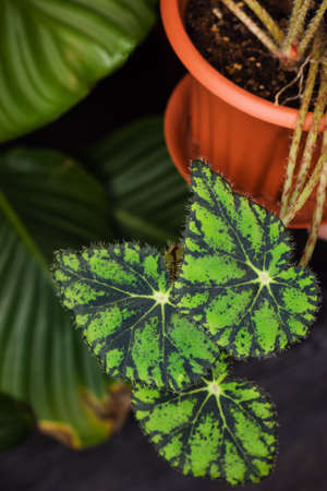 Decorations Real Begonia Leaves Composition Tropical Botanical. Concept Nature Ideas. Home gardening houseplant. Abstract green dark texture. Minimal style interior.