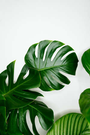Decorations Real Monstera and Calathea Leaves Composition Tropical Botanical On White Background. Concept Nature Ideas. Home gardening houseplant. Abstract green dark texture. Minimal style interior 免版税图像
