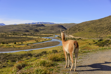 A Guanaco looking to the river at Torres del Paine Park