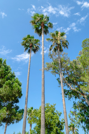 three palm trees: Three tall thin palm trees shot up into the blue sky