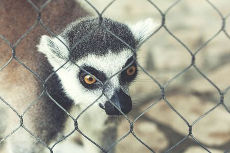 white and black lemur in the nature Фото со стока