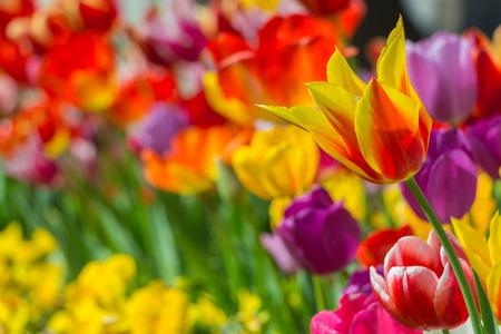 red tulip: Tulip Garden