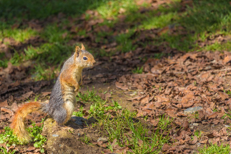 animals feeding: Squirrel in the forest