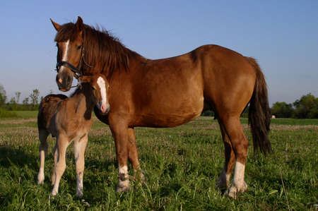 Two horses - mother and child Stock Photo - 338032