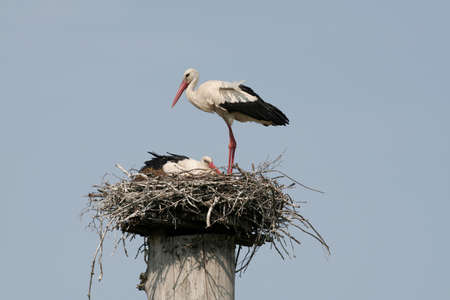 cloudless: A couple of storks in their nest Stock Photo