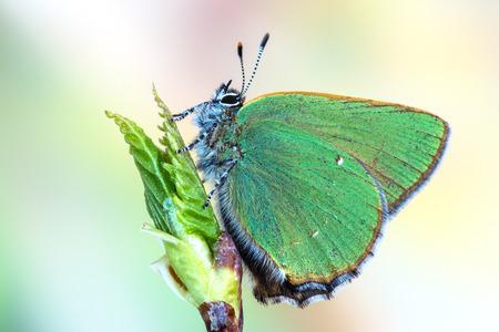 Green Hairstreak (Callophrys rubi) Stockfoto