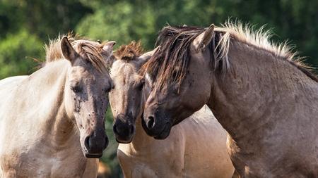 Tarpans (Equus ferus ferus)