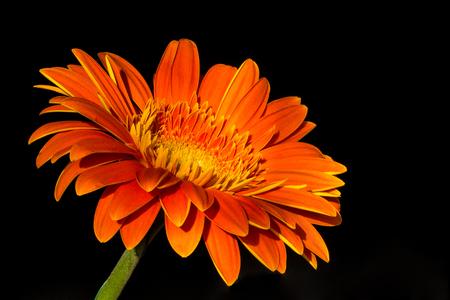 Beautiful orange gerbera 版權商用圖片