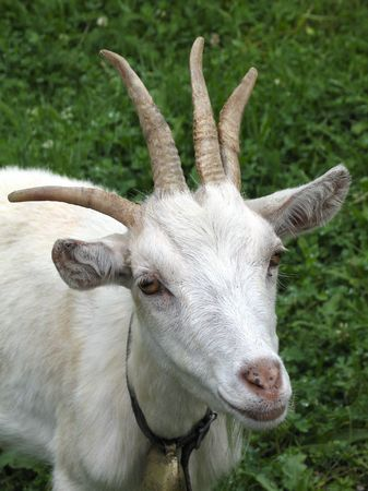 Goat with four horns Stock Photo