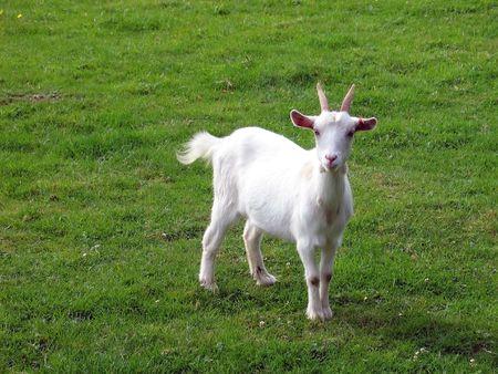barn barnyard: Goat