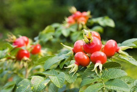 Früchte von Hagebutten (Rosa canina)