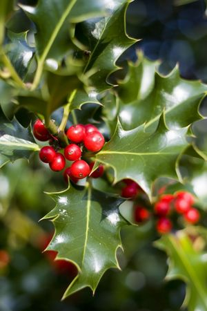holly berry: Red berries from a holly tree Stock Photo