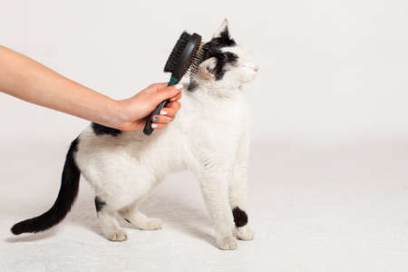 A man combs a black and white cat with a comb for animals. Cat scrubber. Hands remove excess hair from the cat. The cat molts with white wool, the entire brown table is in wool.