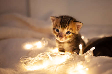 A cute brown tiger benal kitten sits on a beige background. Kitten in the background of Christmas lights flashlights. New Year, yellow lanterns, empty space for text, cat on plaid with blue eyes.