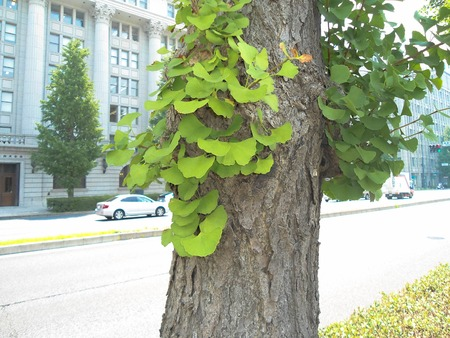 gingko: gingko leaves at gingko trunk in Tokyo