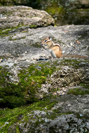 ardilla: chipmunk eating sunflower seeds at the rock with moss Foto de archivo