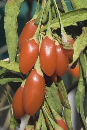 solanaceae: Plant of alternative medicine, native to China, with a positive antioxidant action