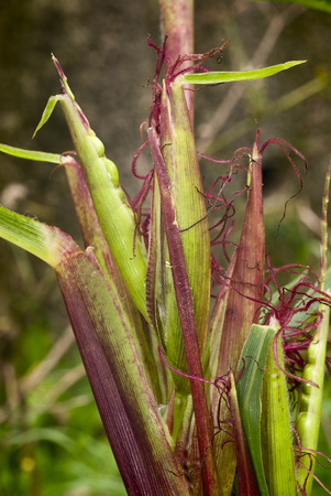 ethnobotany: Teosinte  Euchlaena mexicana  Plant progenitor of maize grown in South America Stock Photo