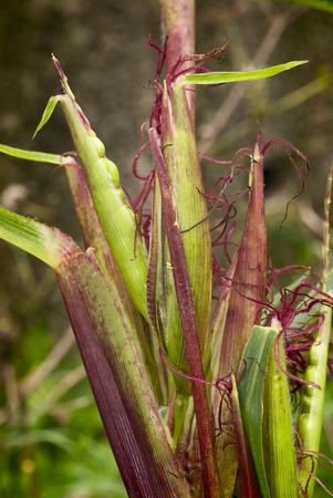 Teosinte  Euchlaena mexicana  Plant progenitor of maize grown in South America Archivio Fotografico