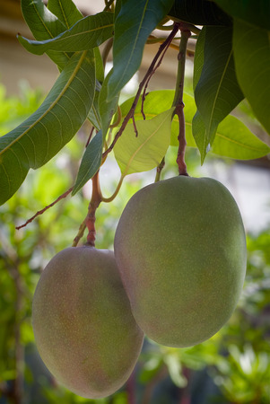 indica: Mango fruit (Mangifera indica) on the tree.