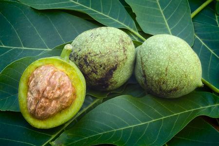 Green walnuts (Juglans regia) on a leaves bed