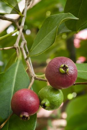 Peruvian guava  ,vintage engraving. rare esotic fruit. photo