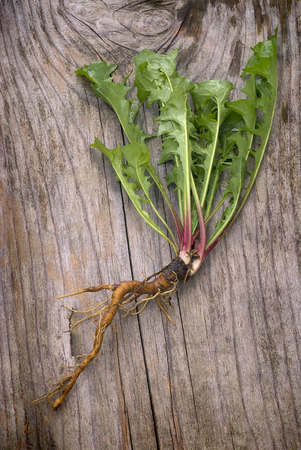 edible leaves: dandelion plant (Taraxacum officinale) with edible leaves and roots