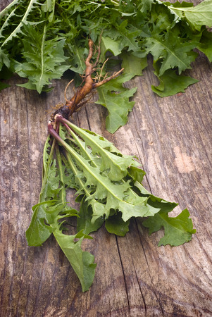 dandelion plant (Taraxacum officinale) with edible leaves and roots