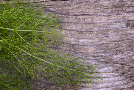 foeniculum vulgare: Soft green leaves of fennel (Foeniculum vulgare) are useful to Accompany fish and many other dishes