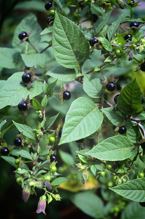 belladonna: Deadly Nightshade (Atropa belladonna). toxic plant used in medicine, in the past also in the magical arts.