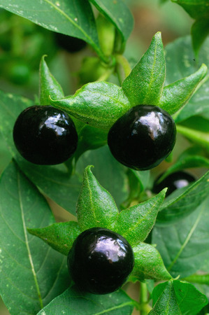 deadly: Deadly Nightshade (Atropa belladonna). toxic plant used in medicine, in the past also in the magical arts.