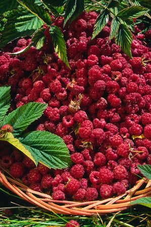 wild raspberries (Rubus idaeus) in the basket Stock fotó