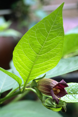 Deadly Nightshade (Atropa belladonna). toxic plant used in medicine, in the past also in the magical arts. photo