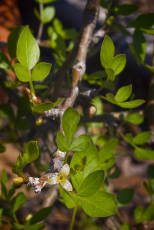 Incense plant flower (Boswellia papyrifera), resin frankincense. Stock fotó