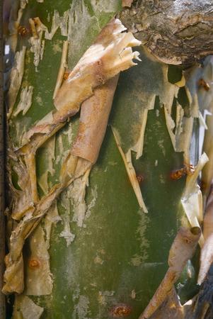 frankincense: Incense plant brak (Boswellia papyrifera), resin frankincense.