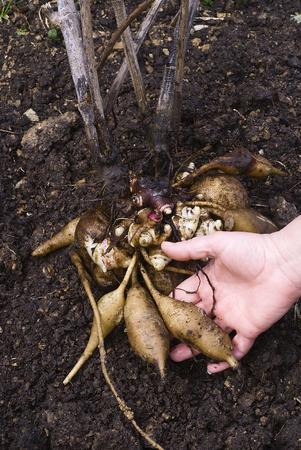 Yacon (smallanthus sonchifolius) root freshly picked