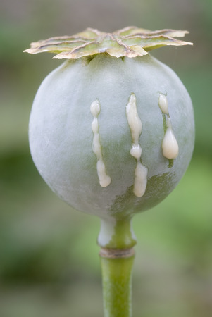 Opium poppy (Papaver somniferum) with incision for bleeding latex Stock fotó