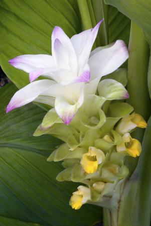 true flower of edible turmeric (Curcuma longa)