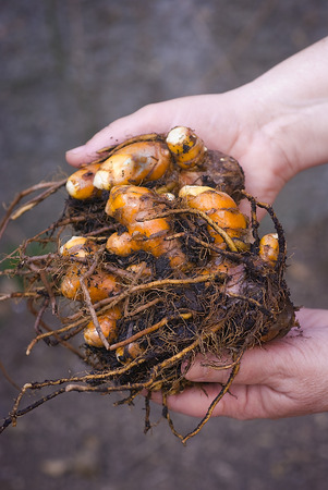Turmeric (Curcuma longa) is a tropical plant in the same family as ginger, native to India, and cultivated throughout the tropics around the world. The spice of an intense yellow color is an essential ingredient in many recipes oriental cooking. root fres 写真素材