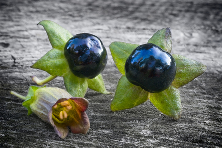 black berry: Deadly Nightshade (Atropa belladonna), berries  and flower on wooden table