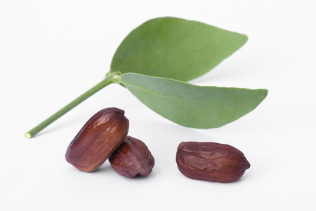 Jojoba (Simmondsia chinensis) leaves and seeds isolated on withe beckground