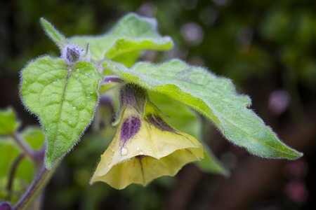 edible plant: Fflower of Physalis (Physalis peruviana) also called Cape gooseberry, Uchuva or gold berries. Plant with edible fruit native of Perù.