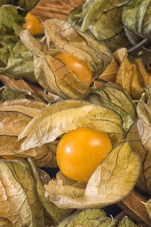 edible plant: Physalis fruit (Physalis peruviana) also called Cape gooseberry, Uchuva or gold berries. Plant with edible fruit native of Perù.