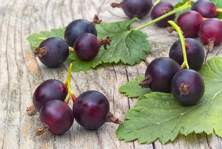 jostabarry (Ribes nidigrolaria 'Josta'), hybride van zwarte bessen en kruisbessen Stockfoto