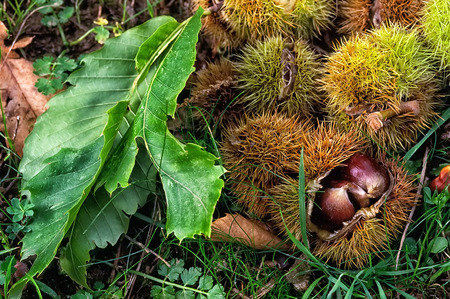 trees seasonal: sweet chestnuts, fruit of chestnuts tree (Castanea sativa). European product